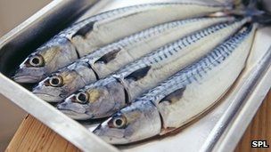 _69244813_mackerel-spl-1