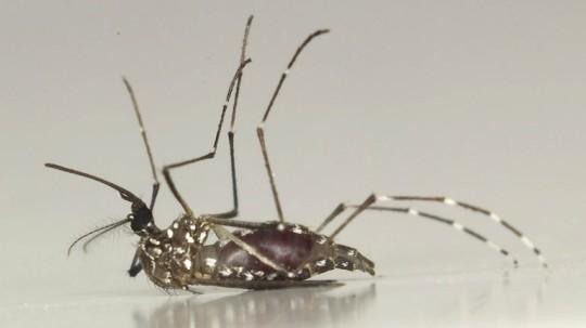aedes-mosquito743609